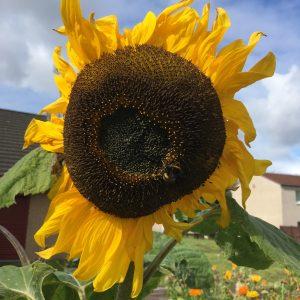 ToryglenSunflower